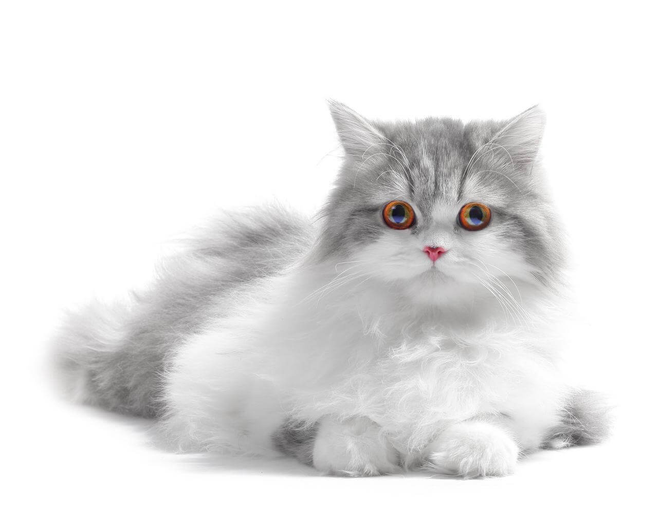 Cat Grooming Services Aussie Pet Mobile